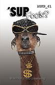 Samantha, ANIMALS, REALISTISCHE TIERE, ANIMALES REALISTICOS, funny, photos+++++Gangstar Alpaca master,AUKP41,#a#