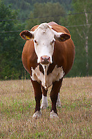Cow Brown and white Smaland region. Sweden, Europe.