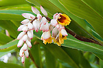 ALPINIA NUTANS (SYN. ALPINIA ZERUMBET), SHELL GINGER OR SHELL FLOWER