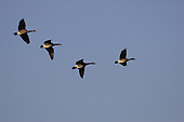 four geese flying overhead
