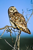 Short-eared Owl, Oregon