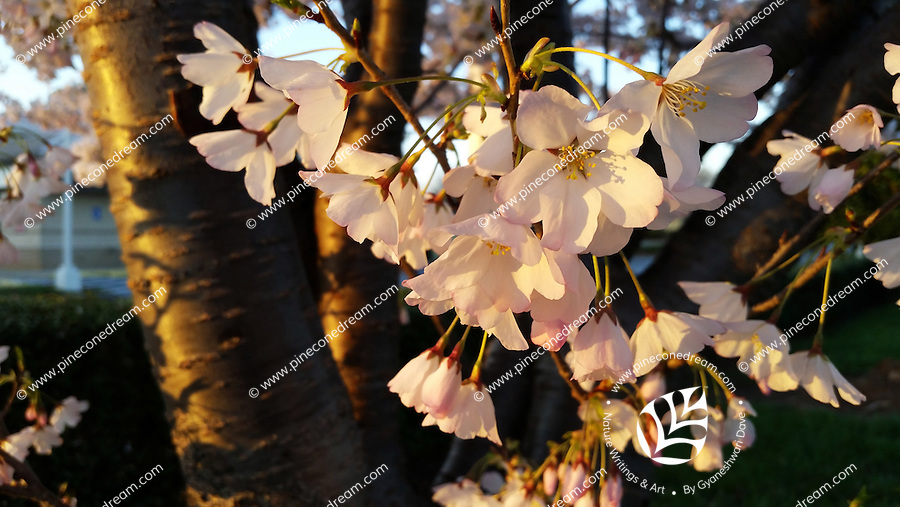 Stock photo: Warm evening light falling on the delicate white cherry blossom flowers and the thick trunk of the tree in Georgia, America.