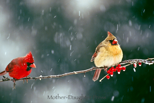 Cardinal couple sit on iscy branch with red holly berrries