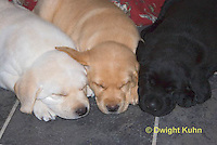 SH38-500z  Lab Puppies - Genetic variation, Black, Yellow and White, 6 weeks old