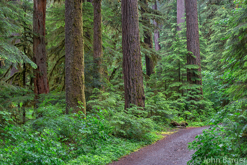 ORCAN_D139 - USA, Oregon, Willamette National Forest, Opal Creek Scenic Recreation Area, Trail through lush, old growth forest with large Douglas fir and western hemlock trees in spring.