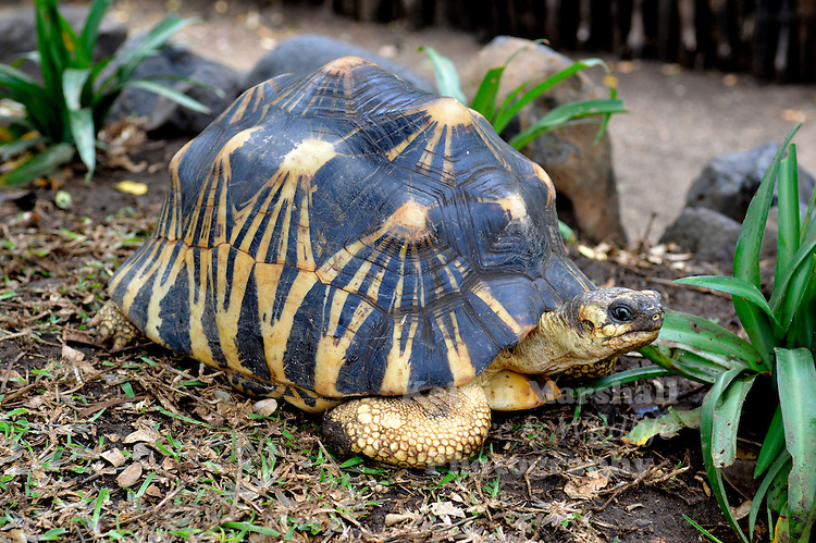 Radiated Tortoise ((Astrochelys radiata) - Radiated Tortoises are found in the dry spiny forests of southern and southwestern Madagascar, from the area of Amboasary in the south across the Karimbola and Mahafaly plateaus north of Tuléar (where the habitat is highly fragmented and tortoises may be close to extinction) to Morombe. They are usually found in a narrow band within about 50 to 100 km from the coast.