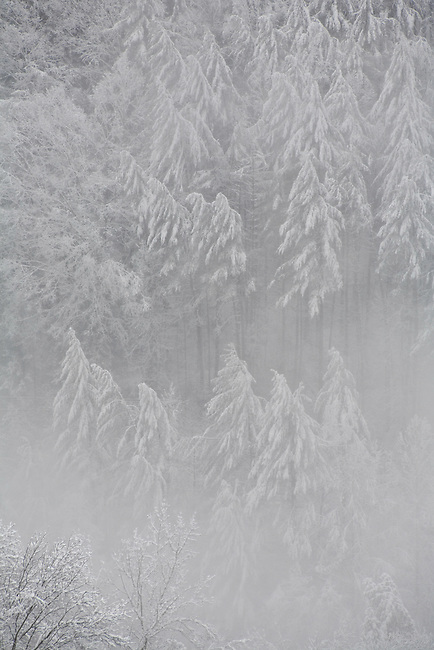 Between bands of heavy snow the storm reveals a forest masterpiece, Flint Mountain