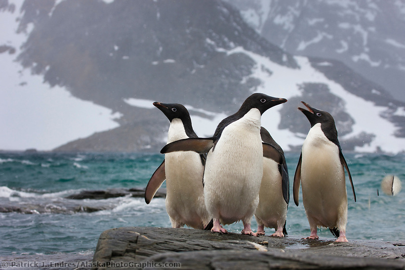 Adelie penguins and icebergs at Shingle Cove, Coronation Island, South Orkney Islands, Southern Ocean