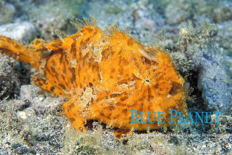 striated frogfish, Antennarius striatus, St. Vincent and the Grenadines