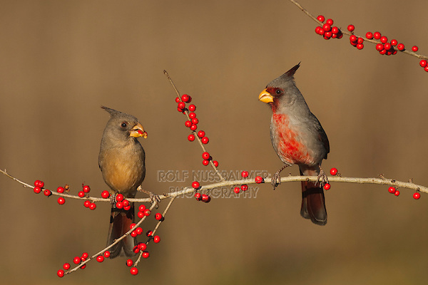 Pyrrhuloxia (Cardinalis sinuatus), male and female eating Possum Haw Holly (Ilex decidua) berries, Starr County, Rio Grande Valley, South Texas, USA