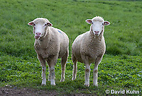 0512-0904  Pair of Sheep, Dorset Ewes, Ovis aries  © David Kuhn/Dwight Kuhn Photography