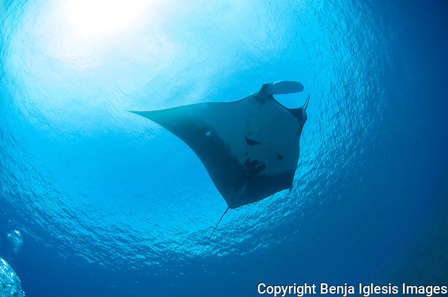 Manta Ray at molokini Maui Hawaii .This rays can reach 20 feet wing span.