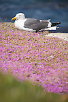 La Jolla Cove, San Diego, California; a Western Gull (Larus occidentalis) bird sitting on a rocky cliff overlooking the Pacific Ocean, surrounded by purple flowers
