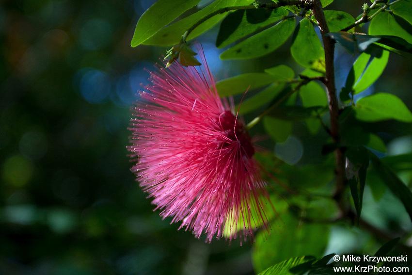 Pink Powder Puff Plant