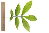 Bitternuss, Bitternuß, Carya cordiformis, bitternut hickory, Le Caryer cordiforme. Blatt, Blätter, leaf, leaves