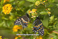 03009-01809 Black Swallowtail butterflies (Papilio polyxenes) male and female on New Gold Lantana (Lantana camara) Marion Co., IL