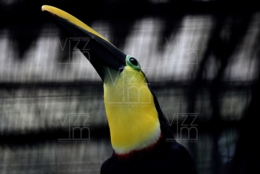 CALI - COLOMBIA - 27 - 09 - 2017: Tucan Piquiverde (Ramphastos Sulfuratus), especie de ave en el Zoologico de Cali, en el Departamento del Valle del Cauca. / Tucan Piquiverde (Ramphastos Sulfuratus), species of bird in the Zoo of Cali, in the Department of Valle del Cauca. / Photo: VizzorImage / Luis Ramirez / Staff.