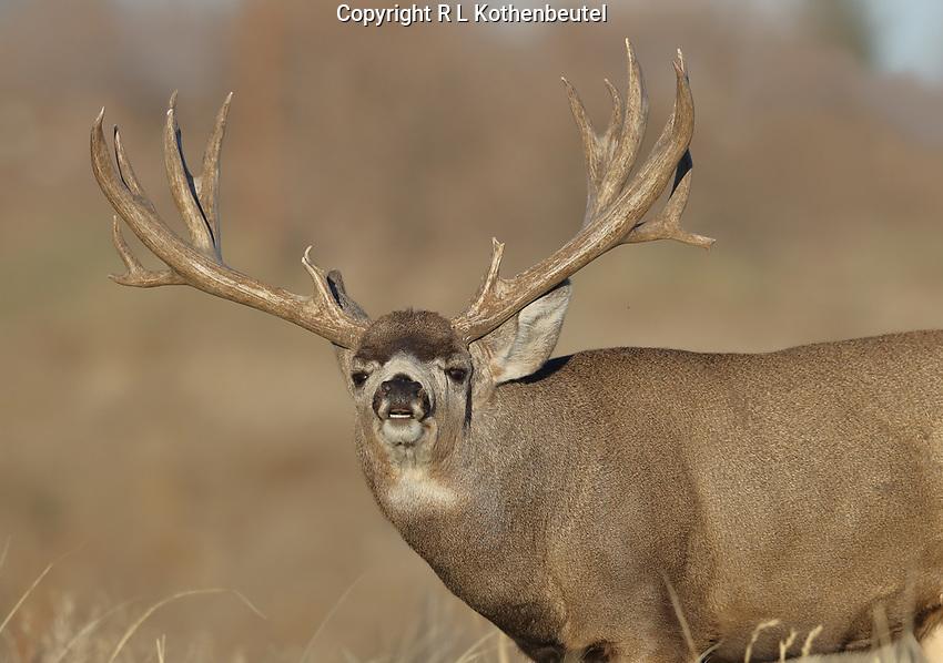 Trophy mule deer buck with massive rack shows lip curl behavior during the rut.<br /> 11/17/2017