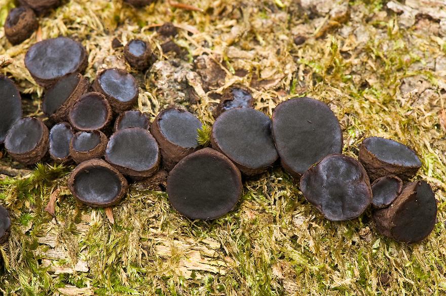 Saprophitic fungi on a stump, Plitvice National Park, Croatia