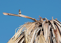 Cactus Wren, Campylorhynchus brunneicapillus, perches in a palm tree in Coachella Valley Preserve, near Palm Springs, California