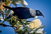 The New Zealand native bird the Tui feeds on a introduced Banksia flower in a home garden at Bombay, Auckland, New Zealand.