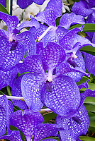 Orchid Flowers Blue Vanda