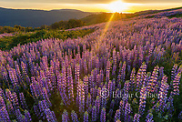 Sunset, Lupin, Lupinus angustifolius, Childs Hill Prairie, Redwood National Park, California