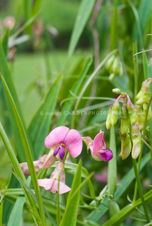Lathyrus sylvestris (Flat Pea, Narrow-leaved Everlasting-pea) species legume in flower with pink and purple blooms