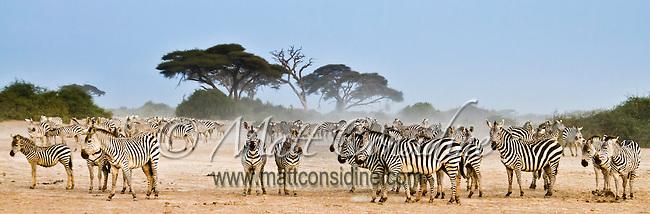 Zebra herd gathering on dry dusty savanna terrain in Amboseli, Kenya, Africa (photo by Wildlife Photographer Matt Considine)