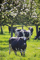 France, Calvados (14), Pays d' Auge, Env de Cambremer: Vaches et pommiers en fleurs // France, Calvados, Pays d' Auge, near Cambremer: grazing cows and apple orchard in bloom