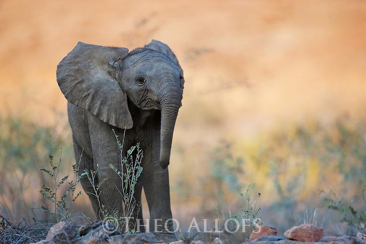 Namibia;  Namib Desert, Skeleton Coast,  desert elephant calf (Loxodonta africana)