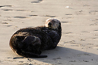 A southern sea otter rests on a sandy beach in Elkhorn Slough - Moss Landing, California.