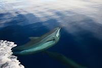 Spinner Dolphin, Stenella longirostris, mating, Chichi-jima, Bonin Islands, Ogasawara Islands, Natural World Heritage Site, Tokyo, Japan, Pacific Ocean