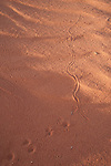 Animal tracks in the sand dunes at Wadi Rum