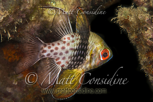 The Pyjama Cardinal fish usually hovers amongst the coral in quiet areas on the reef, Palau Micronesia. (Photo by Matt Considine - Images of Asia Collection) (Matt Considine)