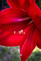 "Amaryllis, red and wide, blooming in a backyard, silently screaming, ""Spring""."