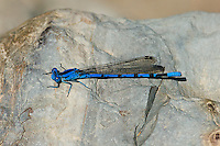 338610018 a wild male vivid dancer argia vivida perches on a rock on piru creek angeles national forest los angeles county california