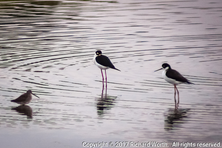 Two Black-necked stilts and another shorebird, possibly a Dowitcher, share the waters of a pond along the San Francisco Bay shoreline.