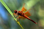 USA; California; San Diego; A Orange Drangonfly in Mission Trails Regional Park in San Diego