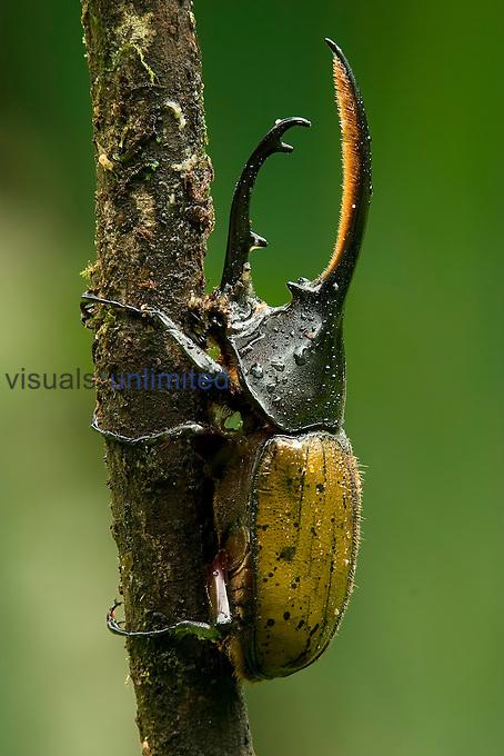 Male Hercules Beetle (Dynastes hercules), Costa Rica.