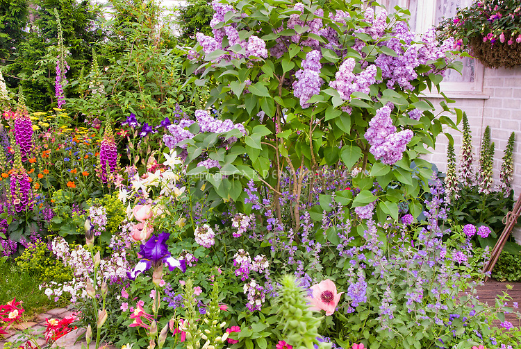 Syringa lilac with Nepeta catmint in spring bloom in mixed garden at front of house with fuchsia in pot containers, Digitalis foxglove, columbine Aquilegia, hanging basket of fuchsia, papaver poppies, etc, May or June garden season