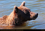 Alaskan Coastal Brown Bear Fishing, Close Portrait, Silver Salmon Creek, Lake Clark National Park, Alaska