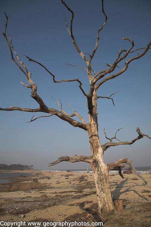 Dramatic dead tree, Benacre Broad, national nature reserve, Suffolk, England