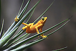 A Panamanian Golden Frog Striking An Interesting Pose, Atelopus zeteki, The All Yellow Variety