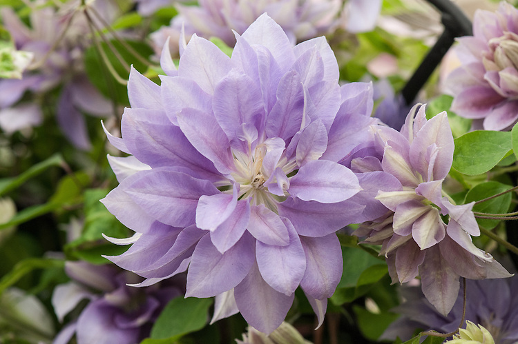 Clematis 'Denny's Double'. Large, fully double, pale lilac-mauve flowers fading to pale blue. Raised by Vince & Sylvia Denny in the UK.