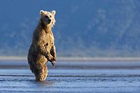 Paula stands up often as she hunts. Kodiak grizzly bear (Ursus arctos middendorffi), Hallo Bay