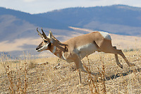 A pronghorn antelope buck runs through dry grass in the foothills of Montana. A pronghorn antelope buck runs through the dry grass in the foothills of western Montana<br />