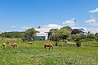 Horses grazing in farm pasture.