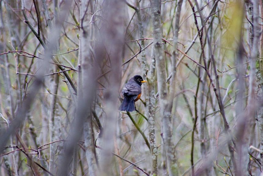 American Robin (Turdus migratorius) near Coldwater Lake, Mt. St. Helens National Volcanic Monument, Washington, US