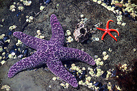 Ochre Star (Pisaster ochraceus) and Blood Star (Henricia leviuscula) along Pacific West Coast, Vancouver Island, BC, British Columbia, Canada